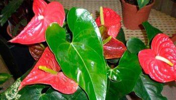 Se você tem uma dessas plantas em sua casa, cuide delas porque você tem um tesouro