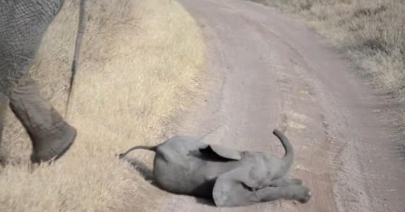 Bebê elefante protagoniza a birra mais fofa do planeta