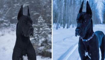 Enzo, o dogue que parece ter vindo de filme do Batman e seu tamanho impressiona