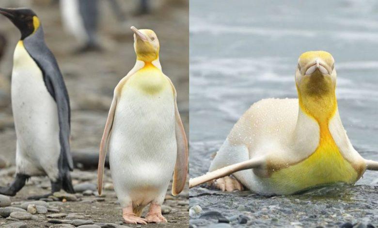 Pela primeira vez na história um raríssimo pinguím amarelo é fotografado