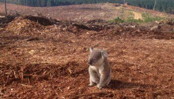 """ONG alerta o mundo: """"Coalas estão praticamente extintos"""""""
