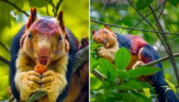 Esquilo arco-íris: uma espécie raramente vista e fotografada!