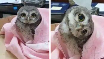 Adorável bebê coruja cai de seu ninho e não soube como voltar