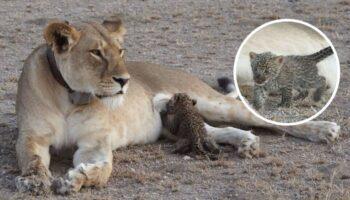 Leoa adota um filhote de leopardo, cuida e o alimenta como se fosse seu