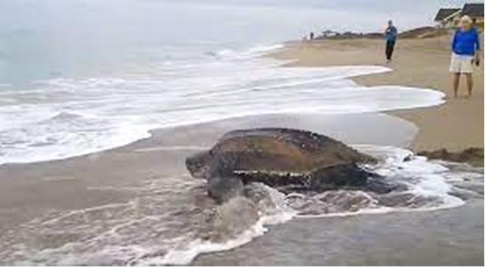 A maior tartaruga marinha do mundo emerge do oceano e deixa todos de boca aberta