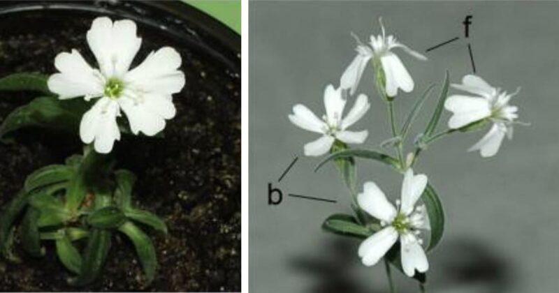 Cientistas revivem planta de 32 mil anos de idade na Sibéria
