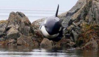 Bebê orca fica presa e chorando por horas, mas um grupo de estranhos a salva