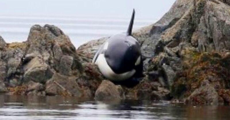 Bebê orca fica presa e chorando por horas, mas um grupo de pessoas a salva