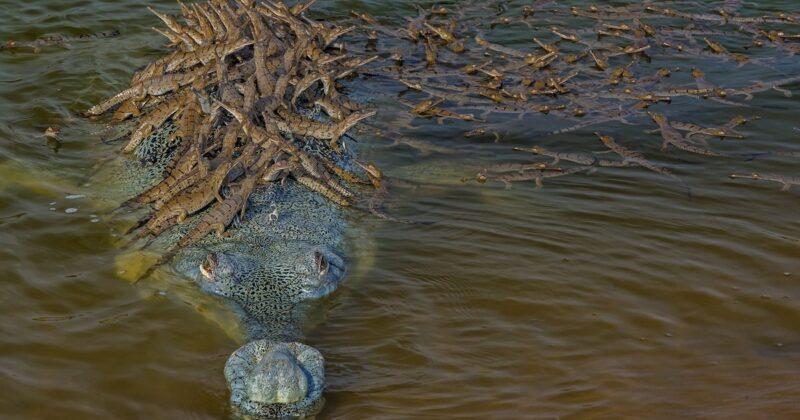 Pai crocodilo orgulhoso é flagrado dando carona para mais de 100 de seus filhotes