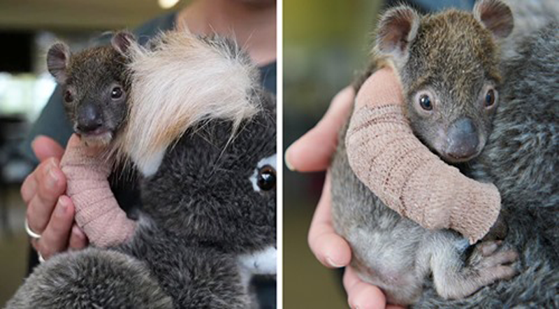 Bebê coala órfão de 5 meses recebe o mais adorável braço engessado após cair de uma árvore