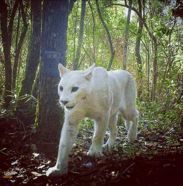 Onça branca extremamente rara é flagrada pela primeira vez no Brasil