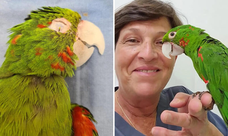 Papagaio com bico danificado ganha segunda chance na vida com novo bico protético