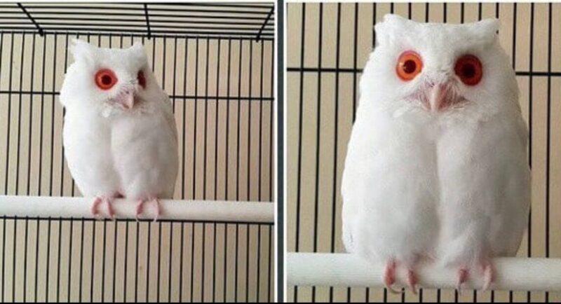 Conheça a rara coruja branca mágica de olhos vermelhos