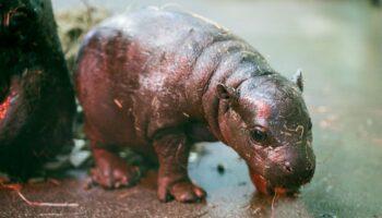 Zoológico comemora nascimento de filhote de hipopótamo-pigmeu, ameaçado de extinção