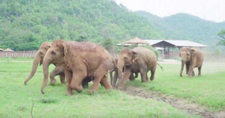 Manada inteira de elefantes corre para cumprimentar um bebê elefante resgatado (Vídeo)