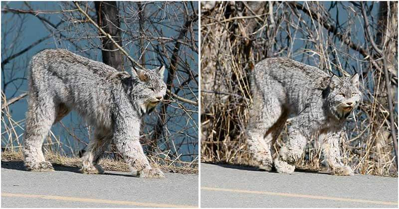 Enorme gato selvagem é flagrado em silêncio desfilando pela rua