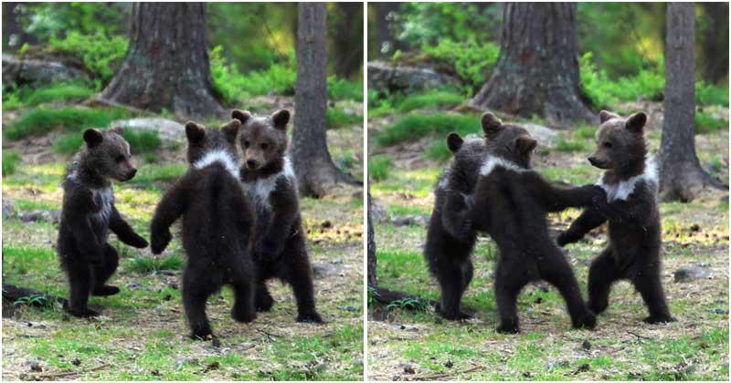 Um trio de ursinhos bebês adoráveis e brincalhões são flagrados dançando em uma floresta da Finlândia