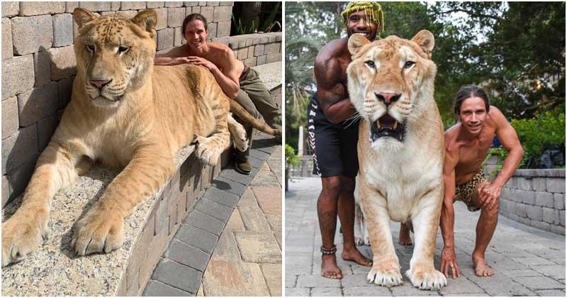 Pesando 319 kg, Apollo, híbrido de uma tigresa com um leão, é um dos maiores felinos do planeta