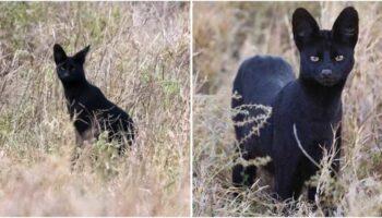 Serval negro incrivelmente raro é flagrado na selva da Tanzânia