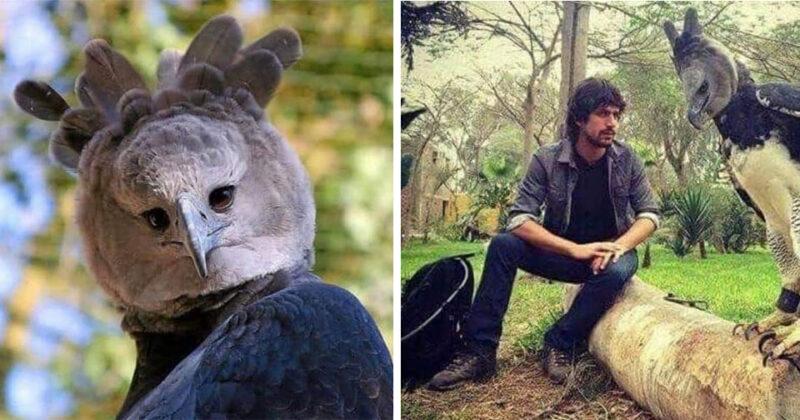 Conheça a harpia, ave sul-americana que é tão grande que parece um homem fantasiado de pássaro
