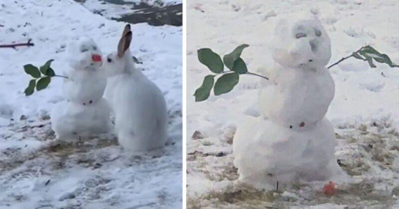 Coelhinho é flagrado mordendo o nariz de cenoura de um boneco de neve