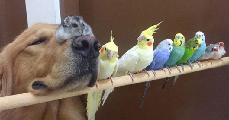 Cachorrinho, hamster e 8 pássaros são melhores amigos e vivem em harmonia (20 fotos)