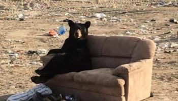 Urso é flagrado relaxando em um sofá que alguém jogou fora