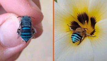 As incríveis abelhas azuis australianas se tornaram virais, você já viu uma?