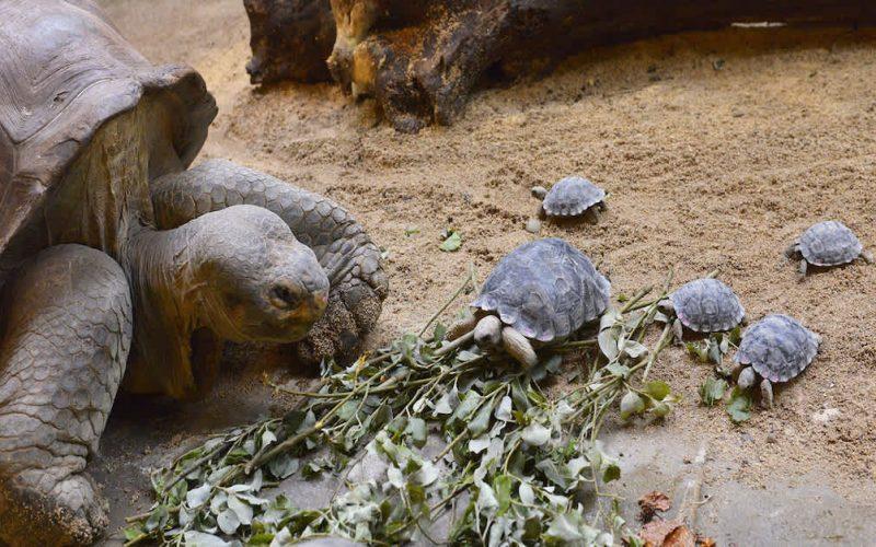 Tartaruga de 80 anos ameaçada de extinção torna-se mãe pela primeira vez