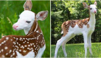 Bebê cervo de rosto branco incrivelmente raro é resgatado após ser abandonado pela mãe