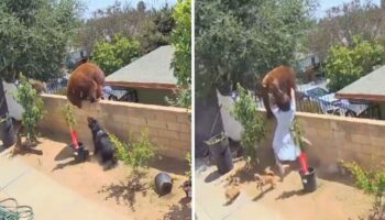 Mulher enfrenta uma ursa para salvar seus cães, ela a empurrou para fora da cerca usando as próprias mãos