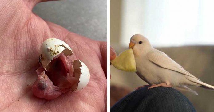 Homem encontra ovo abandonado e o ajuda a se transformar em um adorável periquito
