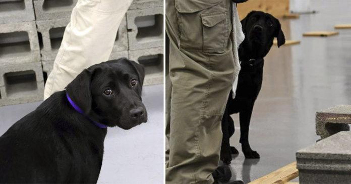 Cachorrinha é demitida da CIA porque prefere brincar com crianças do que farejar bombas