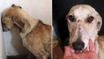 Cadelinha que ficava olhando para a parede para evitar humanos se recupera de forma surpreendente
