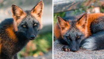 Fotógrafo ganha confiança de uma raríssima raposa melanística