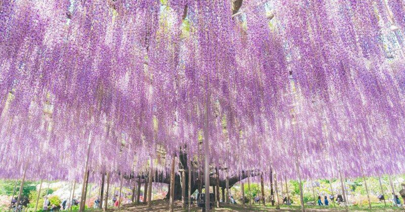 Esta glicínia de 150 anos é considerada a árvore mais bonita do mundo