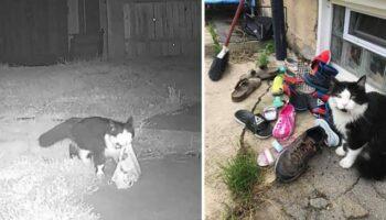 Mulher descobre que seu gato está roubando sapatos de toda a vizinhança