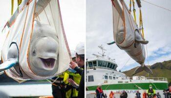Baleias beluga não param de sorrir depois de serem resgatadas na China