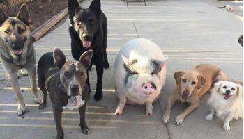 Porco foi criado com 5 cachorros e agora pensa que é um deles