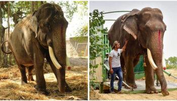 Elefante de 70 anos que foi abusado durante a maior parte da vida, finalmente é resgatado