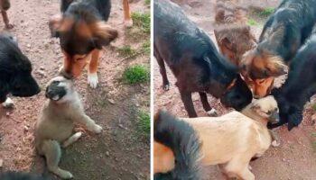Cachorro recebe as mais doces boas vindas dos outros cães do abrigo