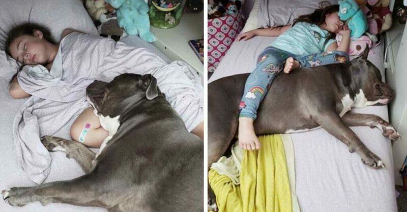Este amoroso pit bull não consegue dormir sem sua pequena ao lado dele
