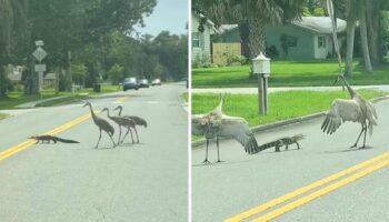 Esta família de garças ajuda um pequeno crocodilo a atravessar a rua