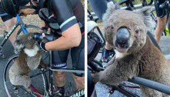 Coala desesperado e cheio de sede para um grupo de ciclistas e bebe água de suas garrafas
