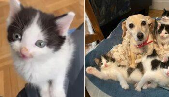 Mulher traz para casa gatinhos encontrados no quintal, e sua cadelinha se encarregou de cuidar deles
