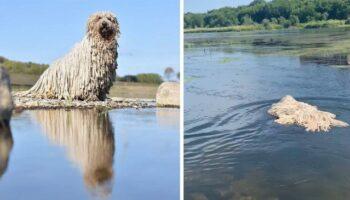 Cachorro parecido com esfregão se torna viral após ser flagrado nadando em um lago