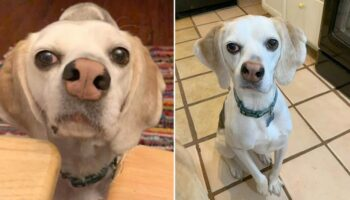 Cachorro ignorado por ter nariz torto finalmente encontra um lar depois de anos no abrigo