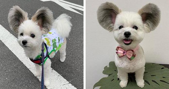 Conheça Goma, a cadelinha com orelhas gigantes que se parece com um Mickey Mouse da vida real