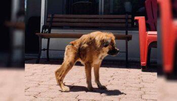 Cadela que nasceu com uma coluna muito curta não sabe que é diferente