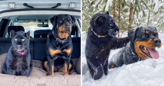 Rottweiler e pantera resgatados do zoológico se tornam melhores amigos